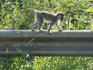 Monkey on guard rail